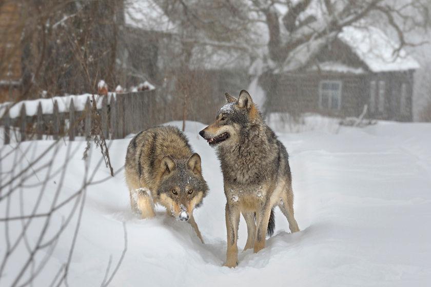 Когда придут волки