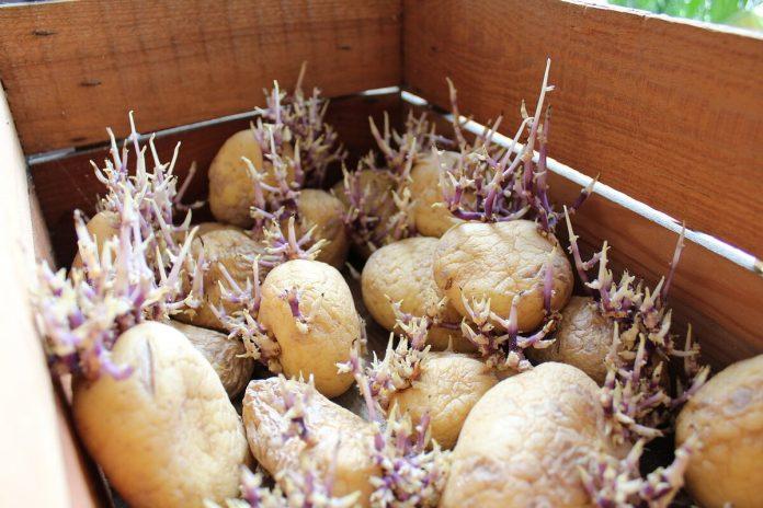 Советы садоводам. Подготовка картофеля к посадке