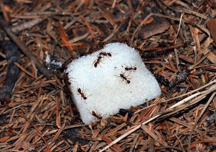Советы садоводам. Борьба с муравьями
